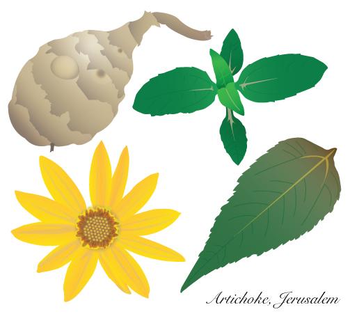 artichoke-jerusalem